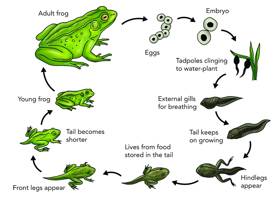 Frog Diagram Lifestyle Wiring Diagram For Light Switch